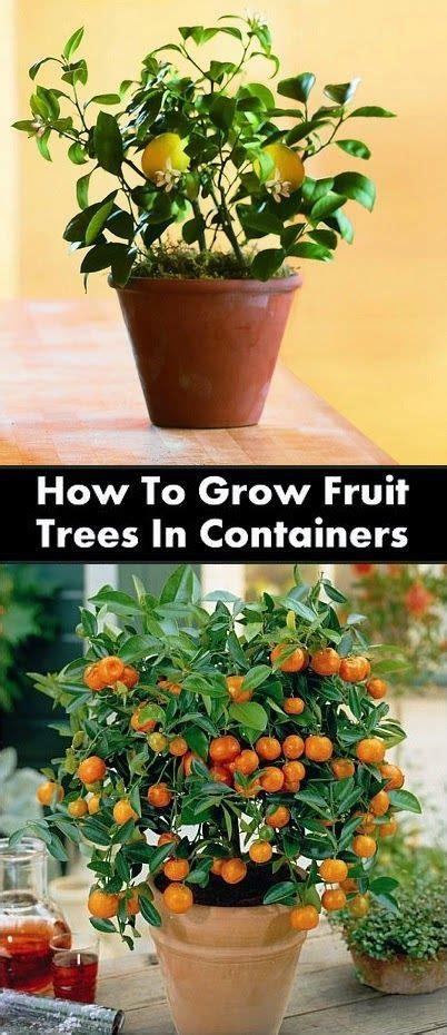 container gardening fruit 25 best indoor fruit trees ideas on