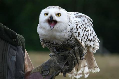 wallpaper android owl snowy owl bird hd wallpaper android apps on google play