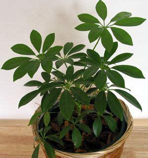 piante d appartamento resistenti piante da appartamento resistenti e decorative www