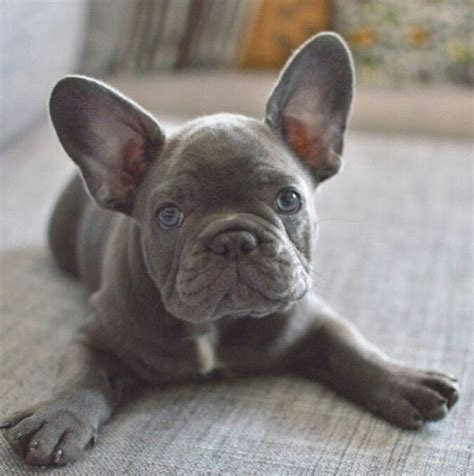 blue frenchie puppy frenchie frenchies