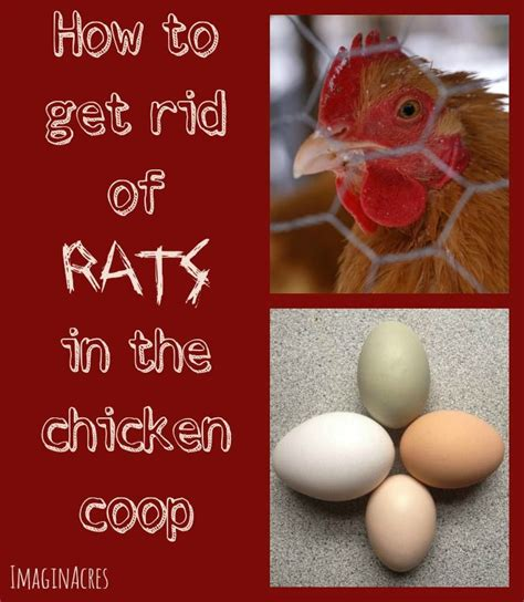 how to get rid of mice in backyard 340 best images about chicken on