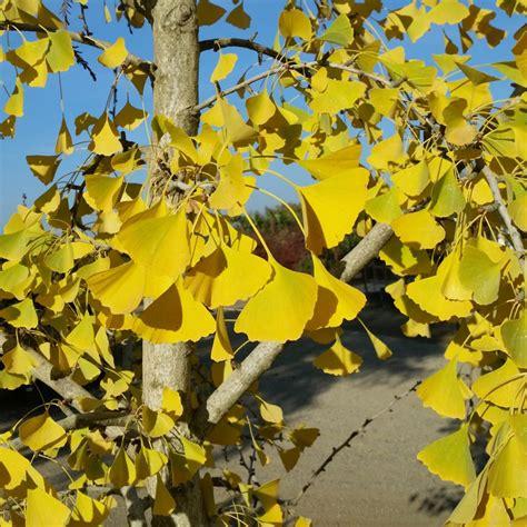 ginkgo biloba autumn gold maidenhair tree mid valley