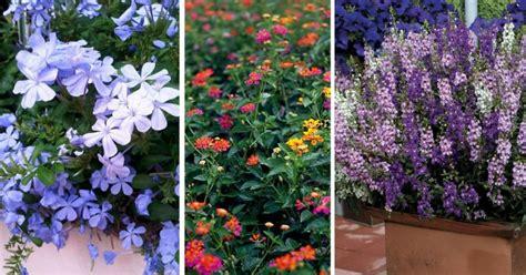 Tahan Panas Corak Dan Warna Random 10 tanaman renek berbunga yang tahan panas dan cuaca kering impiana
