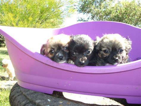 Puppy Giveaway Brisbane - for sale pure bred chihuahua puppies