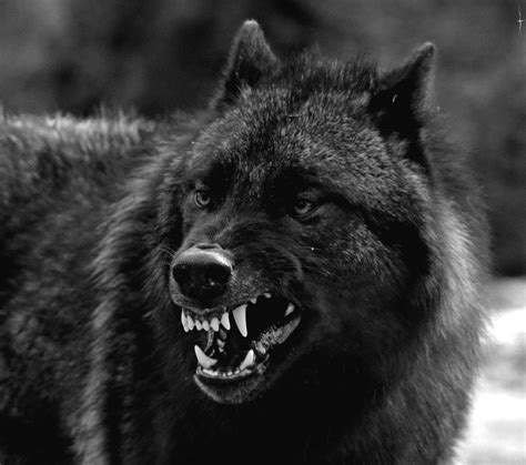 black wolf angry black wolves www pixshark com images galleries