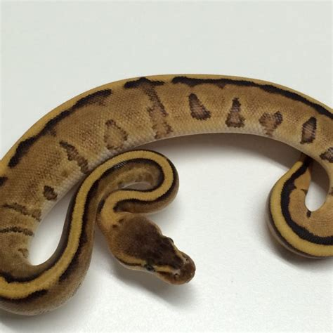 ball python bedding yellowbelly genetic stripe ball python for sale xyzreptiles