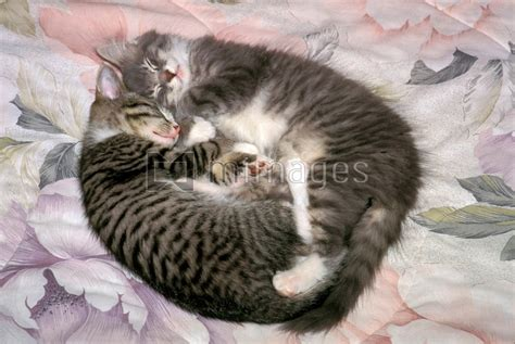 Two kittens sleeping.   Rights Managed Image by Novastock