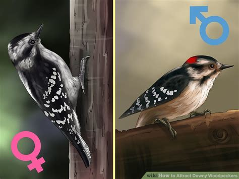 3 ways to attract downy woodpeckers wikihow