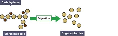 carbohydrates turn into sugar science digestive system revision notes in other biology