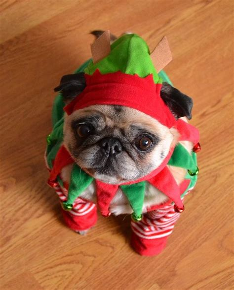 baby pug costume the 25 best pug costume ideas on pug costumes pugs and pug