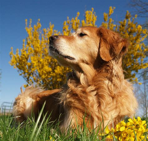 do golden retrievers any predators discover the golden retriever german shepherd mix