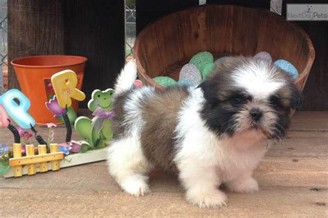 shih tzu puppies for sale in oklahoma city shih tzu puppy for adoption near oklahoma city oklahoma 09c8d4ab 8452