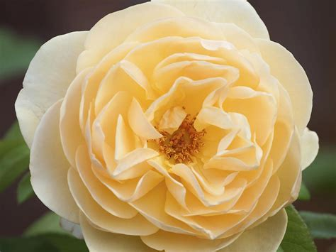 which scented roses to plant in the garden saga