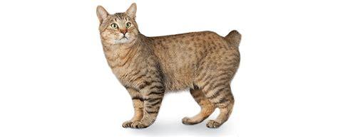 american bobtail cat breed profile petfinder