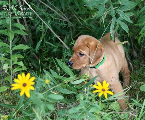 how much do lab puppies cost how much does a fox labrador retriever puppy cost breeds picture
