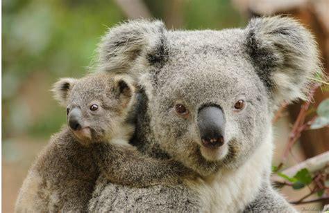 imagenes bellas de koalas las fotos mas alucinantes madre e hijo de koalas