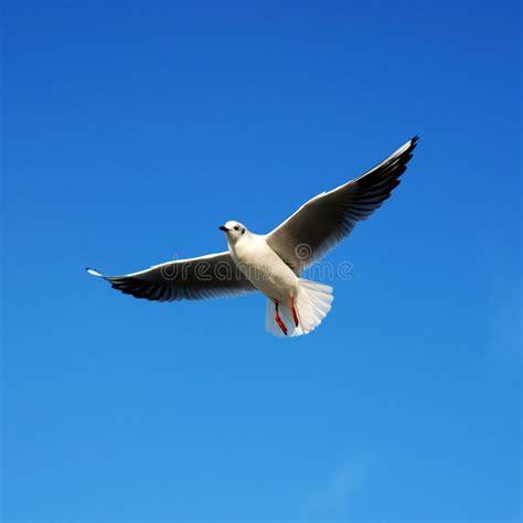 gabbiano immagini gabbiano immagine stock immagine di cielo pesca closeup