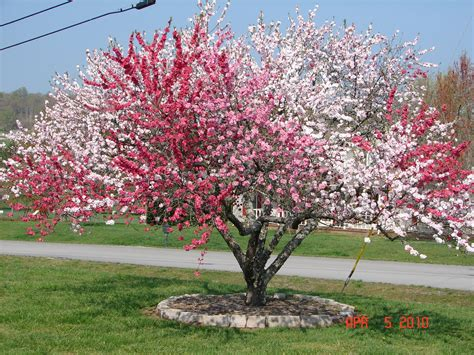 photo is an 18 year old ornamental peach tree in columbia tennessee this tree blooms with 4