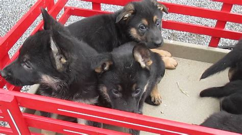 german shepherd puppies for sale in pennsylvania german shepherd puppies for sale in pa