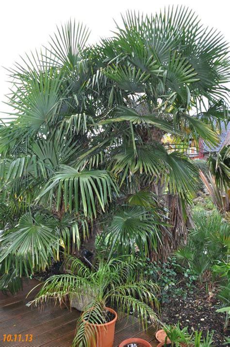 Winterharte Palmen Für Den Garten 3 by Palmen Und Co 187 Der Winter Steht Vor Der T 252 R