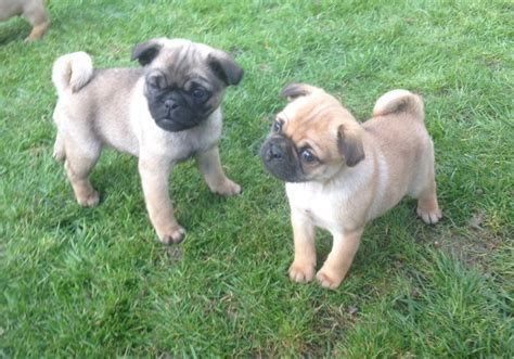 free pug puppies for sale pug puppies for sale puppyfind