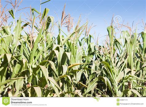 S Corn Growing Up Set green field of corn growing up stock photo image 62867174