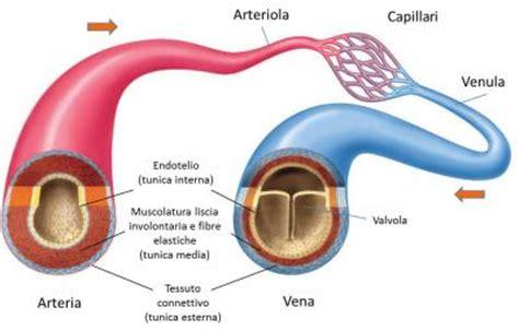 struttura vasi sanguigni il cuore struttura e funzioni