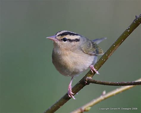 focus on worm eating warbler ebird
