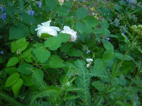 Melva Yellow roses forum melva s garden garden org