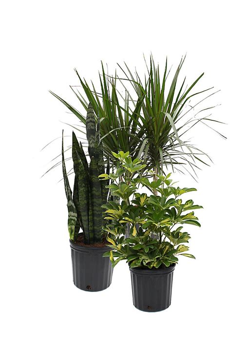 thd   tropical plants assorted  home depot canada