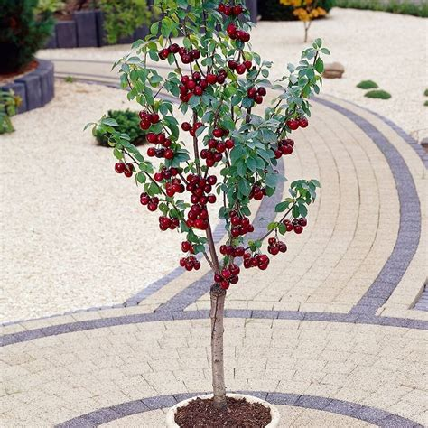 cherry tree and associates top 6 fruit trees you can plant in a mini garden