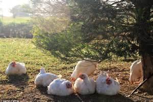 Barn Raised Chicken Guzman Y Gomez Switch From Barn Raised To Free Range Chicken