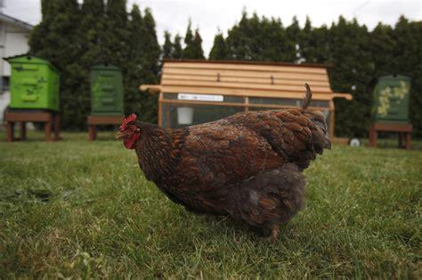 Backyard Chickens Kitchener New Backyard Chicken Regulations Pass Committee Vote 570