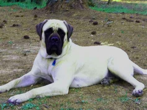 mastiff colors coat color in mastiffs 171 mastiff puppies