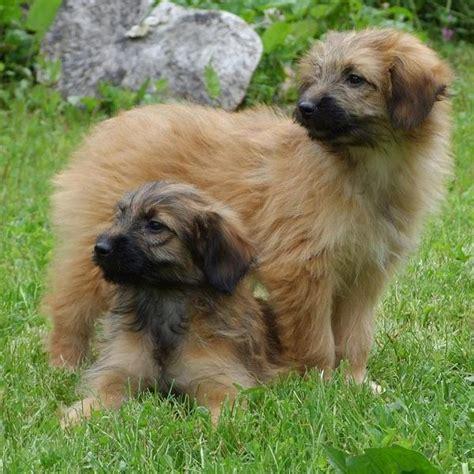 cani da appartamento taglia grande pastore dei pirenei a muso raso razza descrizione
