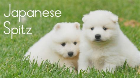 japanese spitz puppies japanese spitz puppies for sale chevromist kennels