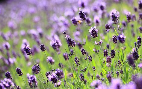 beautiful hd lilac wallpapers