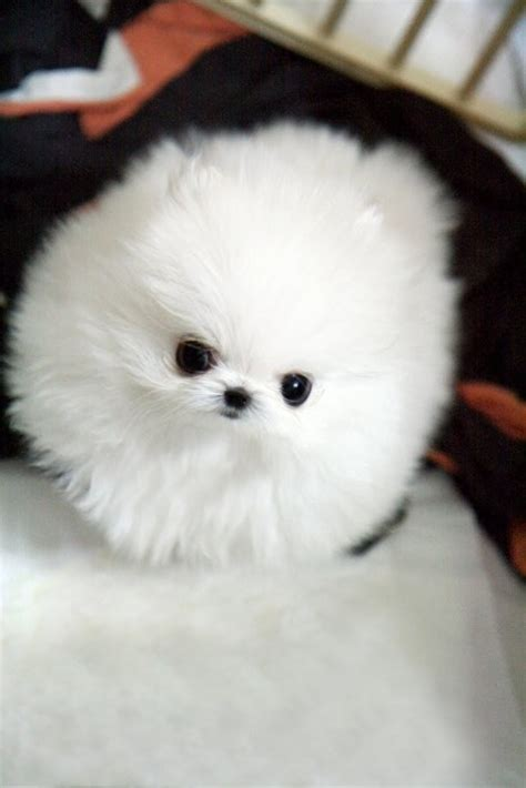 pomeranian poodle lifespan 26 best images about pomeranian on poodles