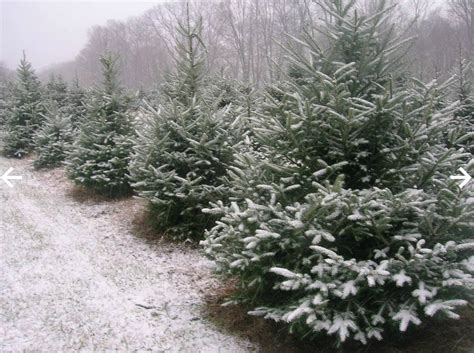 cut your own christmas tree albany ny evergreen farm cut your own trees