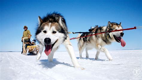 sled dogs sled dogs photography id 8972