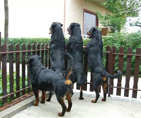 what is rottweiler 1000 ideas about rottweiler kennel on rottweiler breeders rottweilers