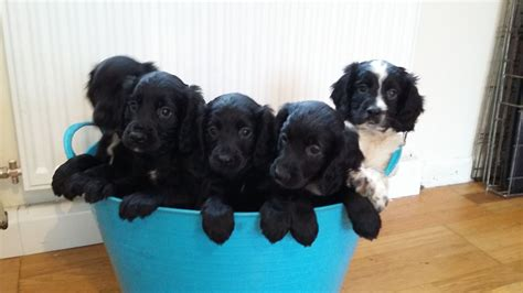 pets plymouth cocker spaniel puppies for sale plymouth pets4homes