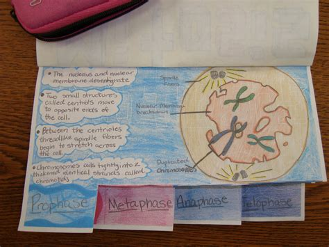 mitosis flip book pictures plant cell meiosis flip book pictures to pin on