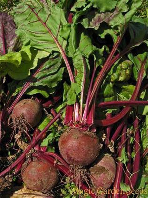 beetroot robuschka beta vulgaris organic