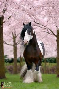 Horses Gypsy Vanner Horse