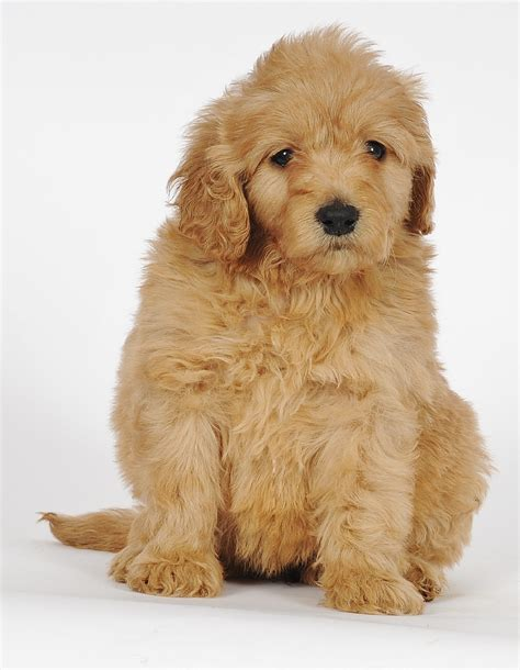 mini goldendoodles louisiana the gallery for gt teacup labradoodle grown
