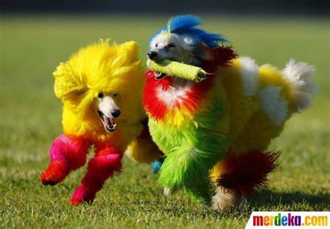 Bola Karet Mainan Anjing Feeding foto ketika si lucu anjing pudel berdandan warna warni merdeka