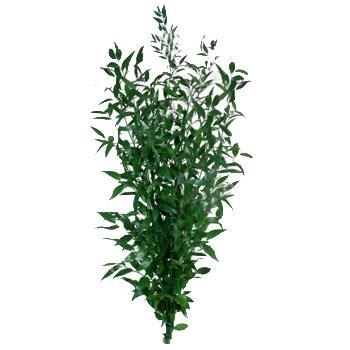 italian ruscus italian ruscus green filler flower