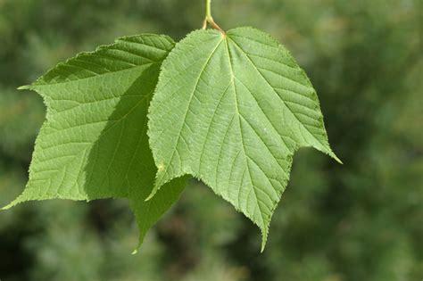 maple tree leaf shape macphail woods striped maple