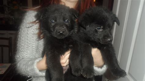 black german shepherd puppies for sale gorgeous black german shepherd puppies for sale cradley heath west midlands